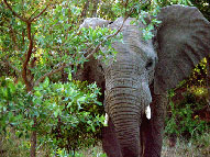 Elephant - Nedile Lodge